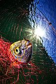 Salema (Sarpa salpa) trapped in a fishing net, Tyrrhenian Sea