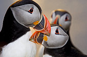 Puffin (Fratercula arctica) billing Shetland Scotland June