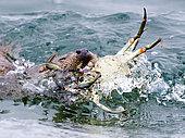 European Otter (Lutra lutra) bringing crab ashore, Shetland, June