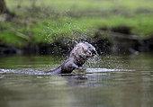 European Otter (Lutra lutra) on River Thet, Thetford, Norfolk