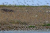 Eurasian Oystercatcher (Haematopus ostralegus) moving restlessly at high tide roost, Snettisham on the Wash, Norfolk