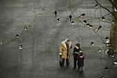 Roost of around 800 Pied Wagtails (Motacilla alba) in trees outside Terminal 5 Heathrow London UK