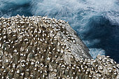 Northern Gannet (Sula bassana) colony, Hermaness Unst, Shetland, Scotland, April