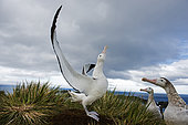 Wandering Albatross (Diomeda exulans) displaying on Albatross Island in Bay of Isles, South Georgia