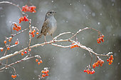 Dunnock (Prunella modularis) in snow, Regional Natural Park of the Vosges du Nord, France