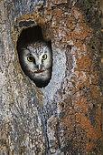 Tengmalm owl (Aegolius funereus) in front of its nesting cavity, Jura, France