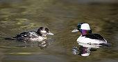 Garrot albéole (Bucephala albeola) couple sur l'eau, Estuaire de la Loire, Pays de Loire, France