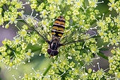 Marmalade Hover-fly (Episyrphus balteatus) on an inflorescence of parsley in spring, Country garden, Lorraine, France