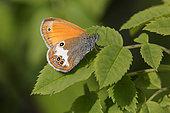 Céphale (Coenonympha arcania) Sur une feuille en sous bois en été, Forêt de feuillus, Lorraine, France