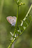 Silver-studded Blue (Plebejus Argus) In the vegetation in summer, Limestone lawn of the coasts of Moselle, Lorraine, France