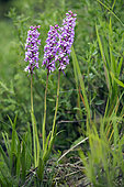 Fragrant orchid (Gymnadenia conopsea) Group in bloom at the beginning of summer, Limestone lawn of the Moselle coast, Lorraine, France