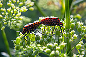 Shield bug (Graphosoma italicum), Mating on an inflorescence of parsley in summer, Country garden, Lorraine, France