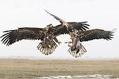 White-tailed eagle (Haliaeetus albicilla) Eagle fighting, Hungary