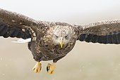 White-tailed eagle (Haliaeetus albicilla) Immature Eagle in flight, Hungary