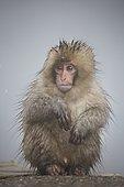 Young japanese Macaque (Macaca fuscata) at the edge of a hot spring, Joshinetsu Kogen, Japan