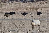 Arabian oryx (Oryx leucoryx) adulte male standing and ostriches (Struthio camelus) in background, Najd Plateau, Saudi Arabia