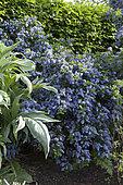 Ceanothus thyrsiflorus Mystery Blue