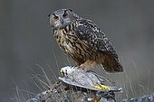 Eurasian Eagle-Owl (Bubo bubo), female at its feeding place with a captured Peregrine Falcon (Falco peregrinus) in its claws, Swabian Alb Biosphere Reserve, Baden-Württemberg, Germany, Europe