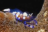 Anemone Shrimp (Periclimenes brevicarpalis) amongst tentacles of sea anemone, Mayotte
