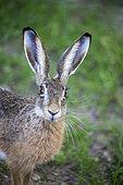 European hare (Lepus capensis), Haute Saone, France