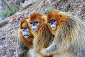 Golden Snub-nosed Monkey (Rhinopithecus roxellana), group, Qinling Mountains, Shaanxi province, China