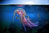 Highly stinging Jellyfish (Pelagia noctiluca) a few meters deep, Tyrrhenian sea, Bacoli, Italy