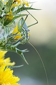 Great green bush-cricket (Tettigonia viridissima), Grazalema Natural Park, Cadiz, Spain