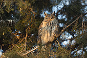 Long eared owl (Asio otus) Owl roosting in a pine tree,Hungary, winter
