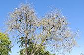 Tree with Indian Flying Fox (Pteropus giganteus), Udaipur Region, Rajasthan, India