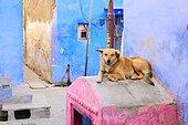 Chien dans une ruelle aux murs colorés, Bundi, Rajasthan, Inde