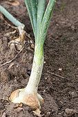 Onion in an organic vegetable garden, France