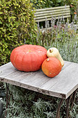 Havest of squashes in a kitchen garden