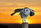 Barn owl (Tyto alba) Barn owl perched on a post at sunrise, England, Spring