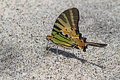 Five-bar Swordtail (Graphium antiphates) drinking on wet sand, Bali Indonesia