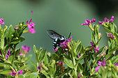 Neon cuckoo bee (Thyreus nitidulus) foraging, Ubud, Bali, Indonesia