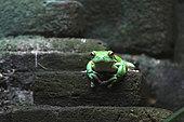 Flying Frog (Rhacophorus sp) in Bali, Indonesia