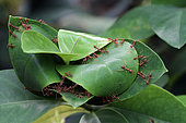 Oecophyllous ants (Oecophylla longinoda) making their nest, Bali, Indonesia.