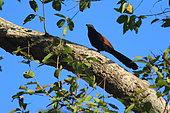 Grand Coucal du Sud (Centropus sinensis parroti) sur une branche, Inde