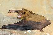 Asiatic Greater Yellow House Bat (Scotophilus heathii), India
