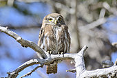 Austral Pygmy Owl (Glaucidium nana) on a branch, Torres del Paine National Park, XII Magallanes and Chilean Antarctic Region, Chile
