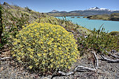 Mata barrosa (Mulinum spinosum) Medicinal plant endemic to the Andes, Torres del Paine National Park, XII Magallanes and Chilean Antarctica Region, Chile