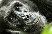 Regard de Chimpanzé (Pan troglodytes), Forêt de Kibale, Ouganda