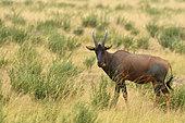 Sassabi (Damaliscus lunatus) in the savannah of Queen Elisabeth National Park, Uganda