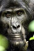 Gorille de montagne (Gorilla beringei beringei), regard, Forêt impénétrable de Bwindi , Ouganda