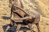 Ibex (Capra ibex) males in autumn livery, Haute Maurienne, Vanoise, Alps, France