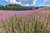 Willowherb (Epilobium sp) in bloom, Lake of the Embouteilleux, near La Pesse, Jura, France