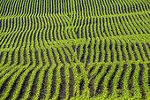 Corn field in spring, Haute Savoie, France