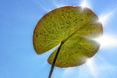 Leaf of White pond lily (Nymphaea alba), Lake of Ambleon, Bugey, France