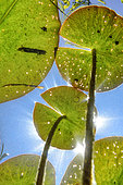 Leaves of White pond lily (Nymphaea alba), Lake of Ambleon, Bugey, France