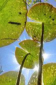 Feuilles de Nenuphars blancs (Nymphaea alba), Lac d'Ambleon, Bugey, France